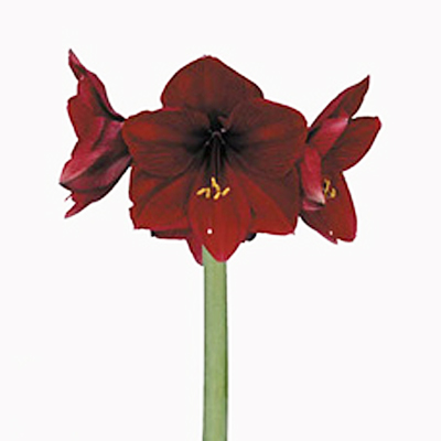 Amaryllis royal velvet wayne nj retail flowers wayne for Amaryllis royal red arrosage