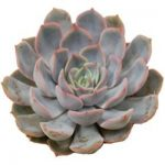 Echeveria Orion Wayne NJ Florist