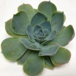 Echeveria Peacockii Wayne NJ Florist
